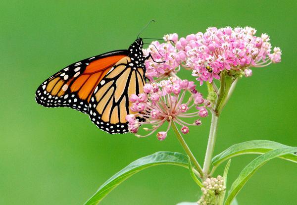 Monarch butterfly on swamp milkweed.