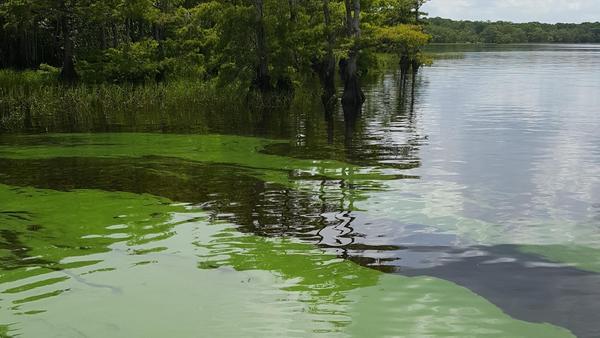 Blue green algae in the St. Johns River.