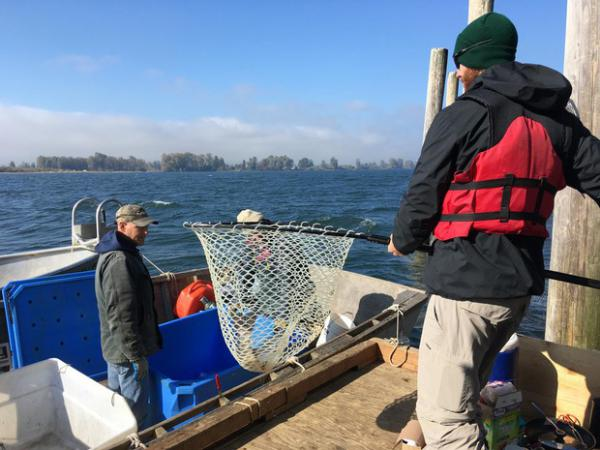 <p>Hatchery fish are harvested one at a time in an experimental version of a fish trap on the Columbia River.</p>