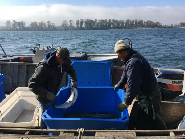 <p>Fisherman Blair Peterson, right, harvests fish from an experimental fish trap on the lower Columbia</p>