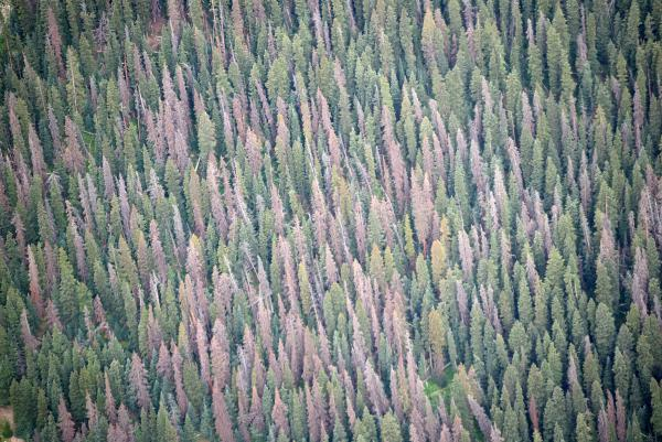 Spruce beetle damage in a Colorado forest, as seen from above.