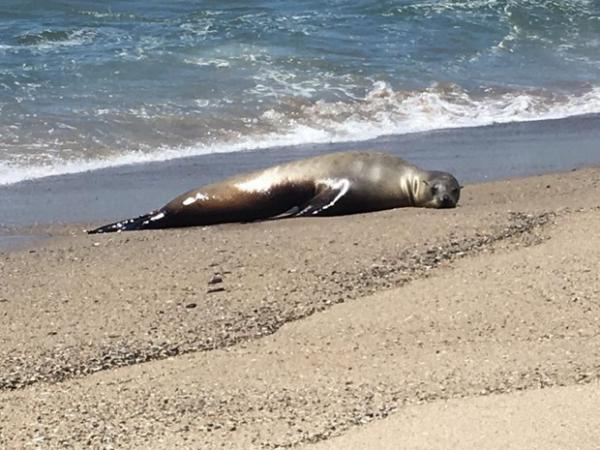 <p>A California sea lion,&nbsp;named Charlie Winston, stranded on a beach in California. Severe cancer had spread throughout her body and made her too sick to swim.</p>