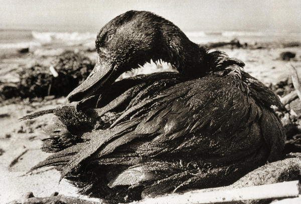 A duck covered in a thick coating of crude oil, picked up when it lighted on waters off Carpinteria State Beach in Santa Barbara County, Calif., after the oil spill in January 1969.
