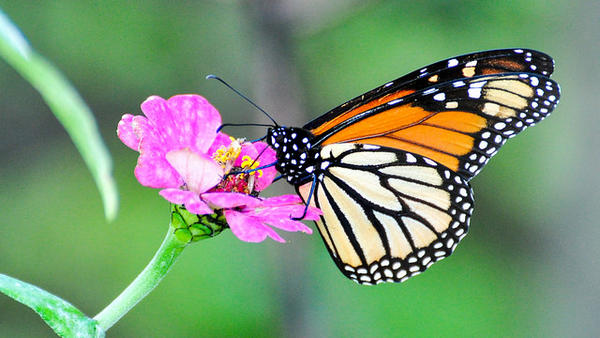Monarch butterflies feed from a variety of flowers. Their caterpillars, however, only eat milkweed.