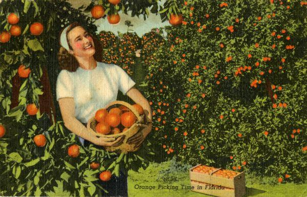 Orange picking time in Florida. 1946. Hand-colored postcard.