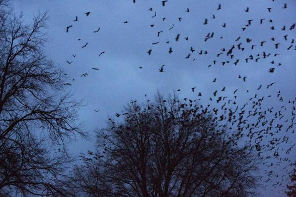 It's not exactly clear why tens of thousands of crows chose Nampa, Idaho as their winter destination. Some residents love them. But they roost in tree branches and power lines, and their noise and waste is a source of frustration for residents.