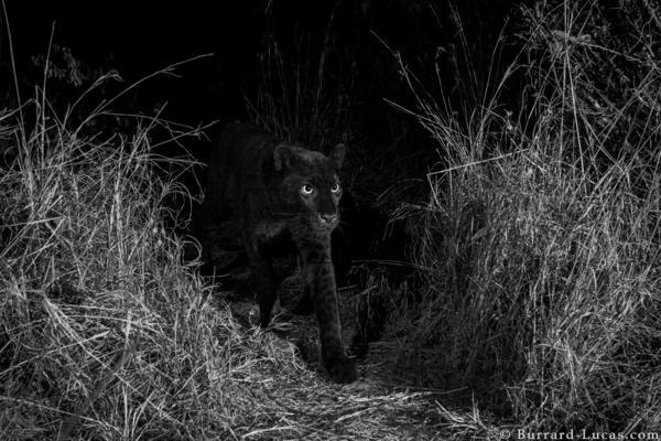 A rare black leopard, caught on camera in Laikipia Wilderness Camp, Kenya.