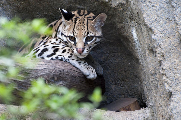 An ocelot at the Houston Zoo.