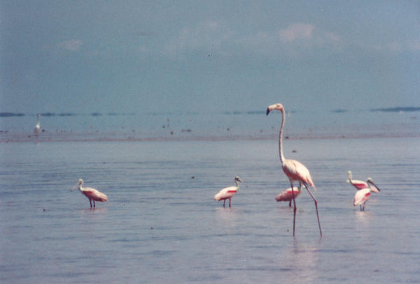 A lone flamingo hangs out with a group of roseate spoonbills in Florida Bay in March 1995.