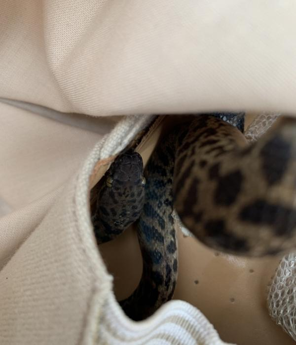 A woman unpacking in Scotland after vacationing in Australia found a snake inside her shoe.