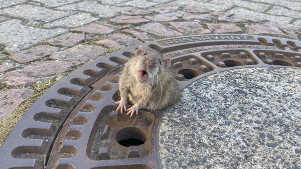 A plump rat stuck in a manhole cover spurred volunteer firefighters and animal rescue workers to act in Bensheim, Germany, over the weekend.