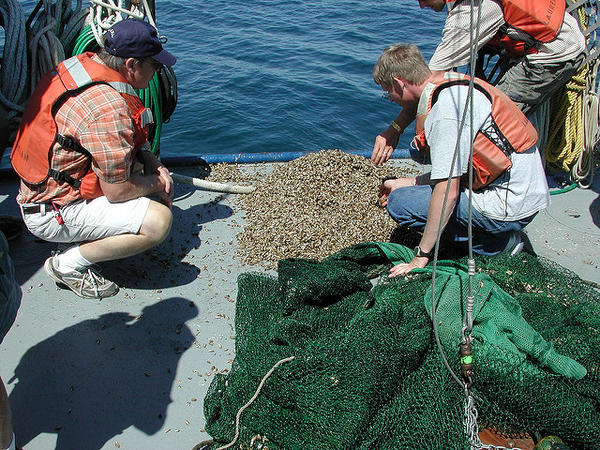Researchers examine a cluster of quagga mussels from Lake Michigan.