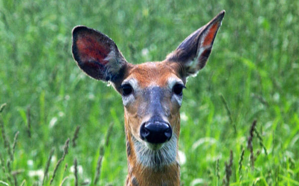 A white-tailed deer keeps its ears open while grazing in South Hero, Vt.