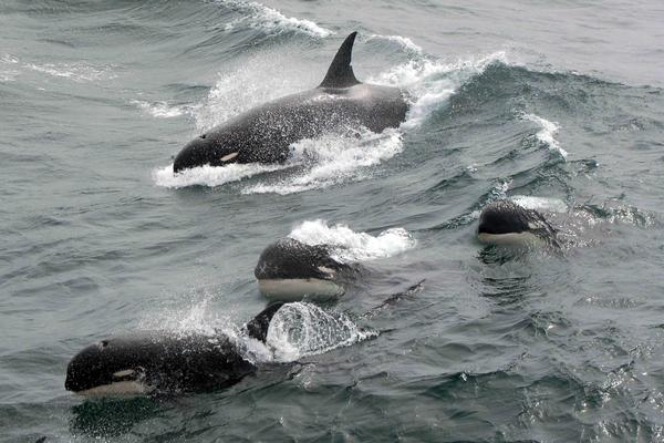"""A rare photo of """"type D"""" killer whales off South Georgia island, located between South America and Antarctica, shows the whales' blunt heads and tiny white eye patches."""