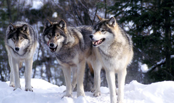 In Idaho alone, state managers estimate about 900 wolves live across the state.