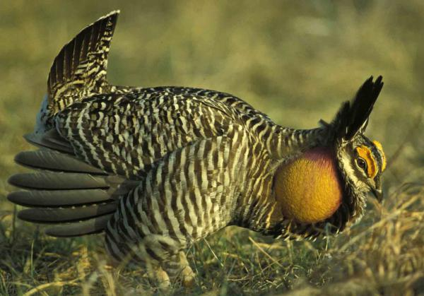Despite 40 years of bringing in prairie chickens from other states, Missouri has failed to raise the birds' numbers due to diminishing grasslands.