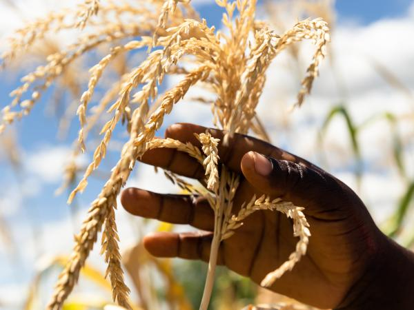 Just three crops — wheat, corn and rice — make up nearly 60 percent of the plant-based calories in most diets, according to a new report. Above, a farmer inspects a plant in her dry maize field on March 13 in Zimbabwe.