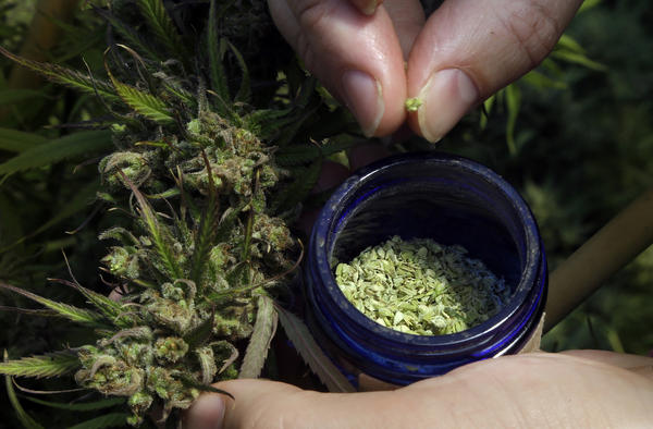 A hemp plant is pollinated in Springfield, Ore., in April 2018. For Texas farmers, growing hemp will present some challenges. One is that it's delicate: Farmers who used pesticides in the past on crops like cotton will need to invest in soil remediation.