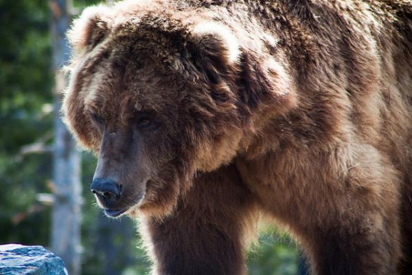 Fifty-nine grizzlies in the Yellowstone ecosystem died in 2017, and 15 of those deaths were because of hunters acting in self defense.
