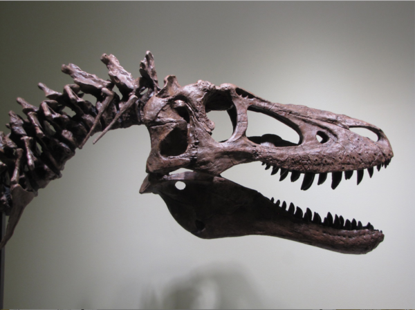 Fossils from a young Tyrannosaurus rex, once displayed along with this recreation of the dinosaur skeleton at a University of Kansas Museum, are now up for sale.
