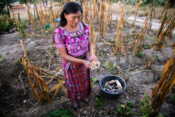 NOW, NOTHING: An indigenous Guatemalan woman examines a corn crop ravaged by the effects of climate change in her country's Corredor Seco (Dry Corridor) region.