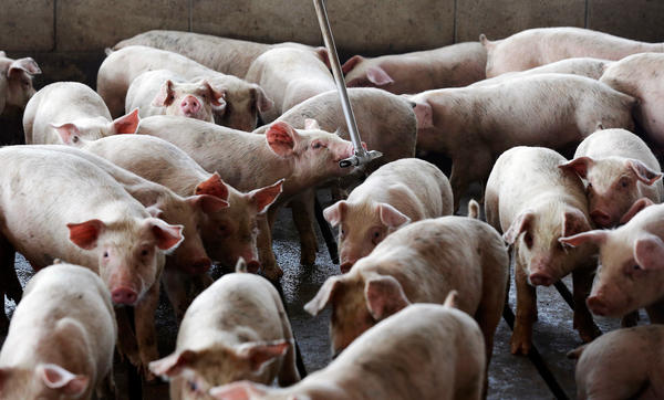 Young hogs owned by pork industry giant Smithfield Foods gather around water at a farm in Farmville, N.C.
