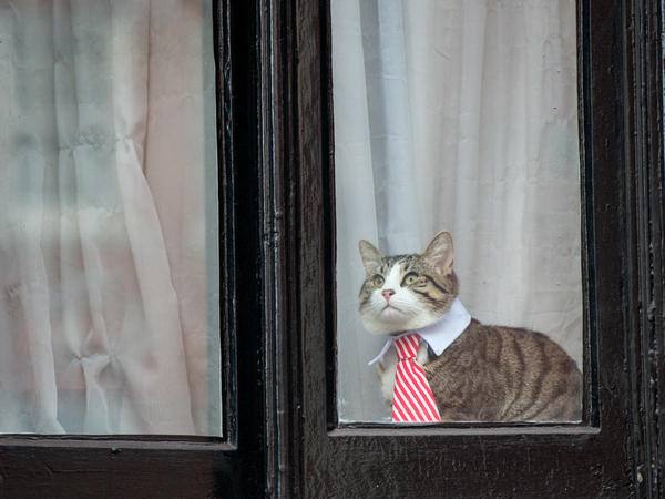 Julian Assange's cat wears a striped tie and white collar as it looks out the window of the Ecuadorian Embassy in London in 2016.