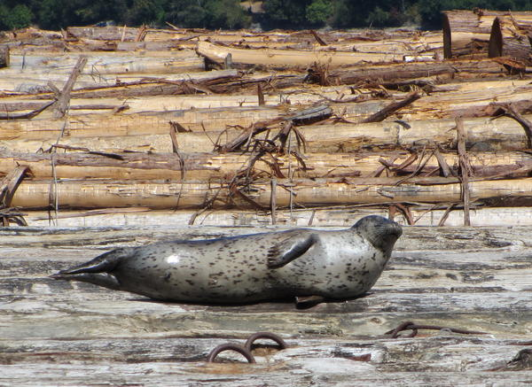 Harbor seal resting on a log raft in Olympia's harbor.