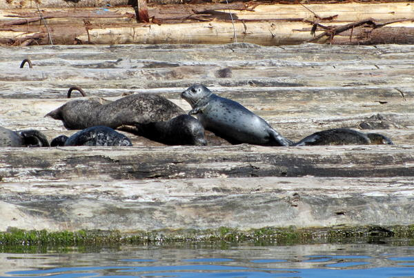 Harbor seals hauled out on a log raft in Puget Sound's Budd Inlet.