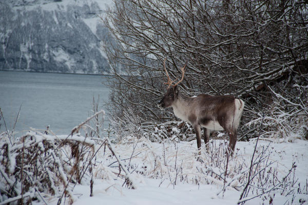 Norway is home to some of the only wild reindeer in Europe.