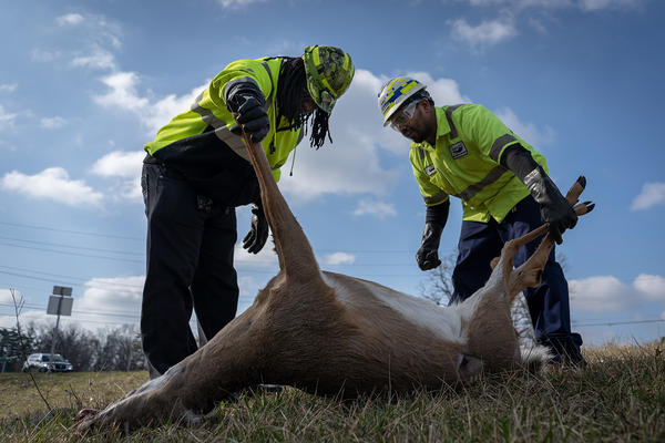 Deon Morris, left, and David Scales examine a deer that was hit by a car. They will transport the deer to a bird sanctuary, where it will feed carnivorous birds.
