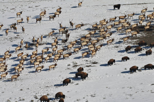 Wintering elk and bison at the National Elk Refuge in Wyoming. Environmental groups say feeding these animals could contribute to the spread of chronic wasting disease.