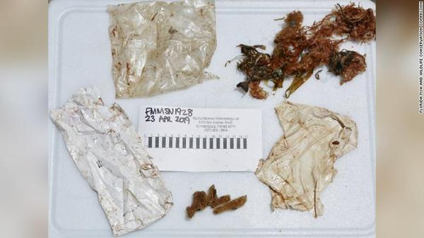 This is the plastic trash found inside a stranded dolphin's stomach off Fort Myers Beach this past weekend.