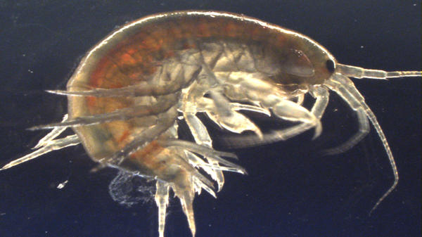 Freshwater shrimp from the species <em>Gammarus pulex</em> like this one, collected in Suffolk County in the U.K., were found to have traces of cocaine.
