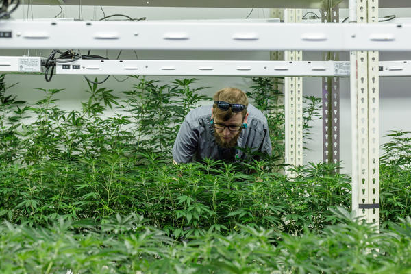 A worker at the Revolution Enterprises medical marijuana cultivation facility in Delavan.