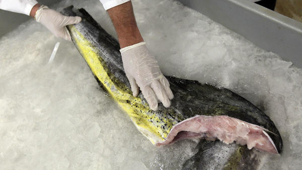 Above, fresh mahi mahi harvested from the sea. A handful of cell-based seafood companies are attempting to create fresh fish species, including mahi mahi, in a lab — where they will be grown without a head, tail, skin or bones.