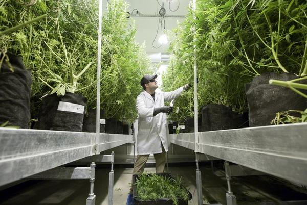 Michael Rubin tends to plants at Compassionate Cultivation, a cannabis company that serves patients throughout Texas.