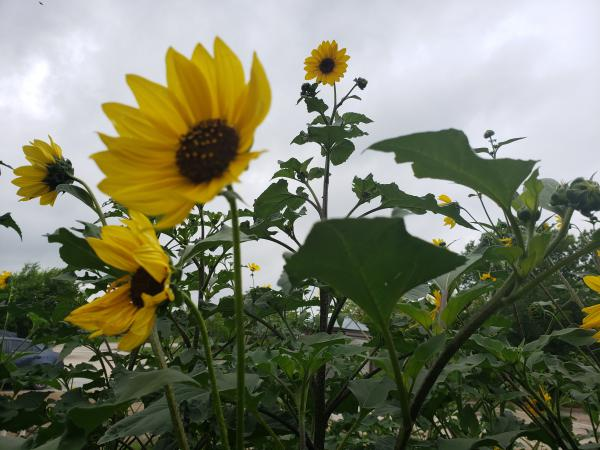 The Mitchell Lake Audubon Center uses sunflowers to attract birds.