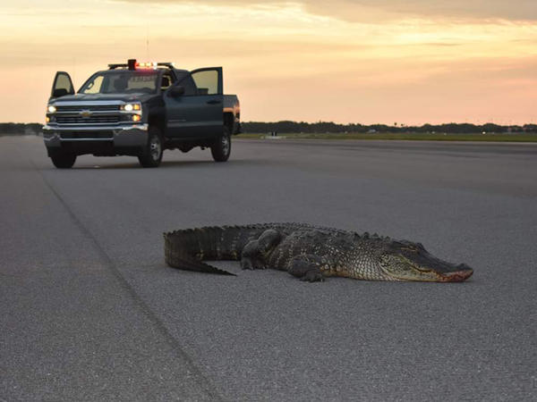An alligator on the runway at MacDill Air Force Base had to be loa