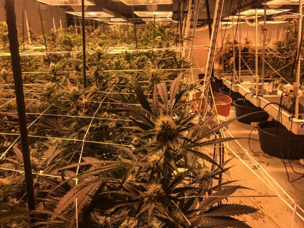 About 450 plants are being grown in a hydroponics system at a downtown Denver operation.