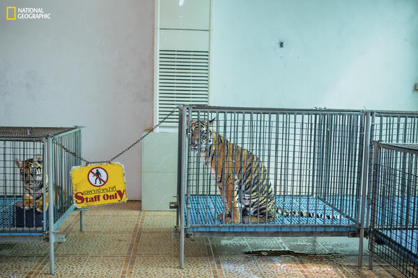 At a tiger zoo in Thailand, cubs are kept in small cages and taken out for photo ops. Captive tigers are speed bred-cubs taken from their mothers at birth-to ensure that there are always baby cats for visitors to cuddle.