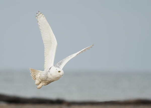 Project SNOWstorm is a national effort to band and track snowy owls that relies on tips from the public.