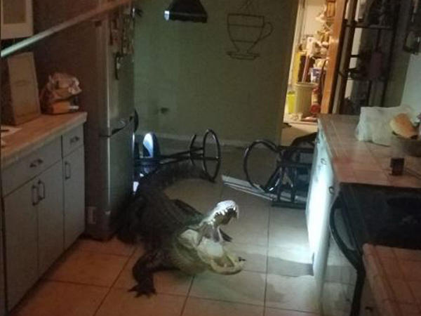 An alligator broke into a woman's home in Clearwater early Friday morning.