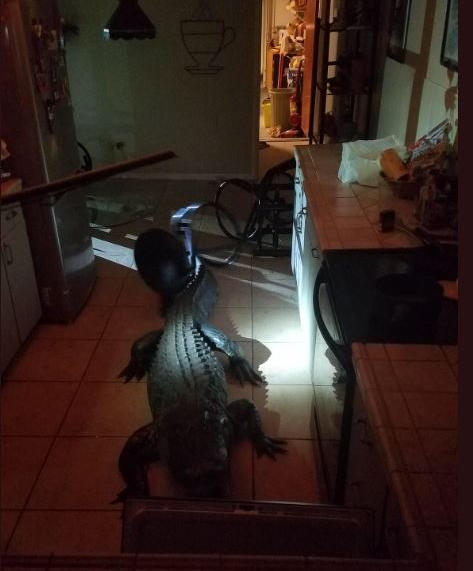 The Clearwater woman discovered the alligator in her kitchen around 3:30 a.m.