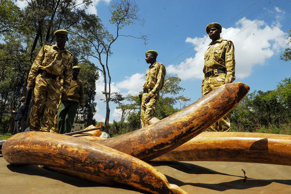 Kenya Wildlife Service (KWS) rangers display ivory seized from poachers around the country. KWS has played a critical role in carrying out operations against poachers.