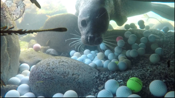 A curious harbor seal checks out diver Mike Weber as he and other divers pick up golf balls in the waters off the coast of Northern California. His daughter wrote a paper about all the golf balls found in the ocean from nearby golf courses.