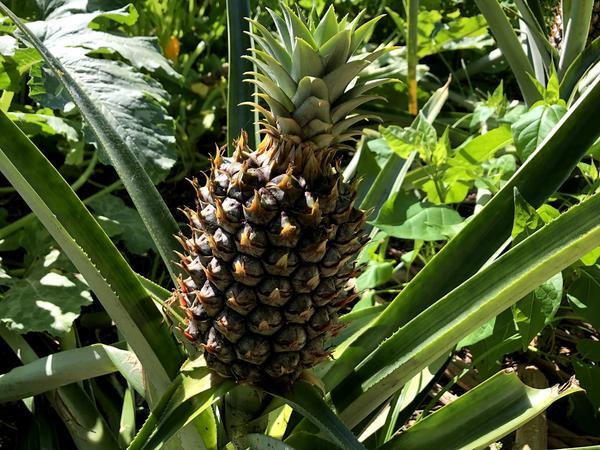 Pineapple plant.