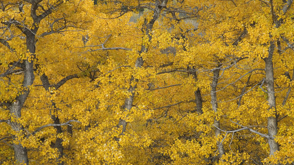 Some cottonwood trees are home to microorganisms that are known methane producers.