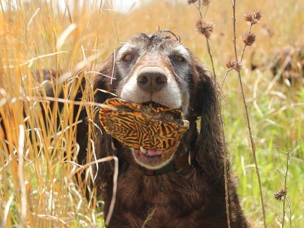 Mink, a Boykin spaniel, holds an ornate box turtle that she sniffed out. She is one of a team of specially trained hunting dogs that are helping conservationists and researchers find rare turtles in Iowa.