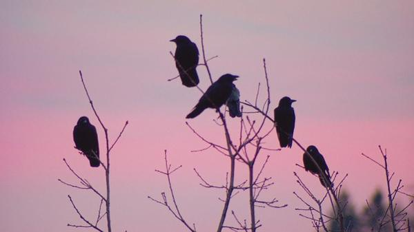<p>Crows gather at sunset</p>